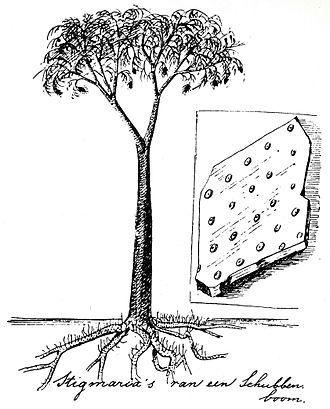 Lepidodendron - Reconstruction of Lepidodendron by Dutch conservationist Eli Heimans (1911).