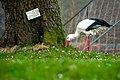 Storch BotanischerGarten Ostern 2018.jpg