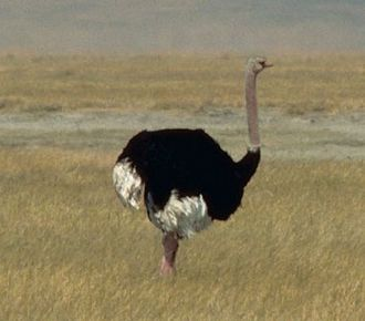 Largest organisms - The common ostrich is the largest living bird.