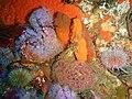 Strawberry anemones and sponges at 18m depth at SURG Pinnacles PB248804.JPG