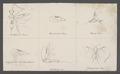 Streblocera - Print - Iconographia Zoologica - Special Collections University of Amsterdam - UBAINV0274 046 07 0002.tif