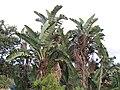 Strelitzia nicolai, looks like banana plant, grew profusely in many places, on the way to Hluhluwe-Umfolozi AJTJ.jpg