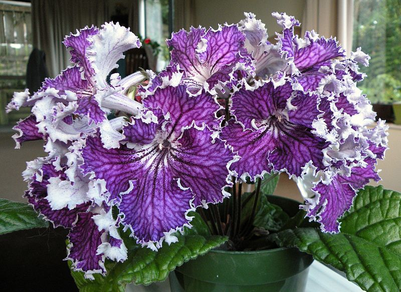File:Streptocarpus 'DS-Heart of Kai'.JPG