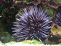 Strongylocentrotus purpuratus P1160330.jpg