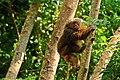 Stump-tailed Macaque, Macaca arctoides in Kaeng Krachan national park (15950513375).jpg