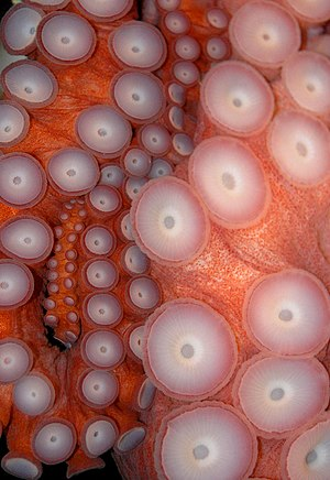 Enteroctopus dofleini - Close up of suckers