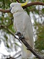 Sulphur-crested Cockatoo.jpg