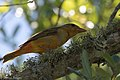 Summer Tanager ( 1st year male) Anahuac NWR - Woodlot TX 2018-04-25 12-12-52 (42024315412).jpg
