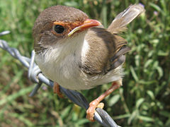 Superb fairy wren2 LiquidGhoul.jpg