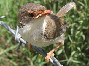 Superb Fairy-wren, Malurus cyaneus