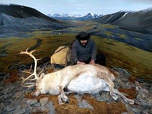 Svalbard reindeer - Svalbard reindeer hunting exhibition at the Polar Museum in Tromsø, Norway