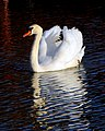 Swan and Its Reflection.jpg