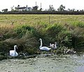 Swans on the Grantham Canal - geograph.org.uk - 979927.jpg