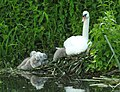 Swans with cygnets (17782640353).jpg