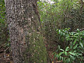 Swietenia mahagoni, Everglades NP 1.jpg