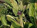 Symphytum officinale 122998805.jpg