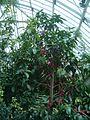 Syzygium malaccense BotGardBln07122011A.JPG