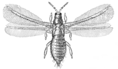 Taeniothrips inconsequens adult - AE.png