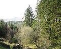 Tall conifers in Cwm Meillionen - geograph.org.uk - 396216.jpg