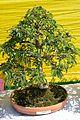 Tamarindus indica - Bonsai - Alipore - Kolkata 2013-02-10 4671.JPG