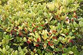 Tatton Park 2015 25 - Skimmia.jpg