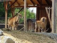 Taurotragus oryx Tierwelt Herberstein 01