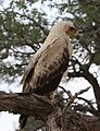 Tawny Eagle, Aquila rapax, pale form at Kgalagadi Transfrontier Park, Northern Cape, South Africa (34190121520).jpg