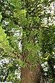 Taxodium distichum 18zz.jpg