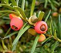 Taxus baccata 04 ies.jpg
