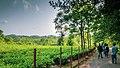 Tea garden at Rangapani tea estate 7.jpg
