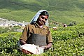 Tea gardens of darjeeling.jpg