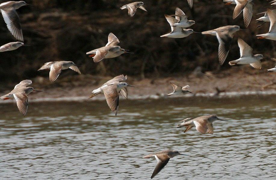 Terek Sandpiper, Little Stint, Marsh Sandpiper, C Redshank W2 IMG 6891