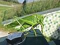 Tettigonia viridissima (Tettigoniidae) (Great Green Bush Cricket) - (female imago), Arnhem, the Netherlands - 2.jpg