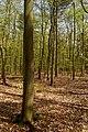 Texel - De Dennen - Budding Beeches - View ESE.jpg