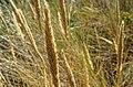 Texel - De Muy - Marram Grass = Helmgras = Ammophila arenaria.jpg