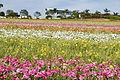 The Flower Fields at Carlsbad Ranch 37 2014-04-28.jpg