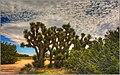 The Majestic Joshua Trees (146312483).jpeg