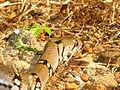 The Montane Trinket Snake (Coelognathus helena monticollaris) 28.JPG