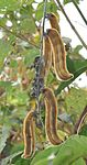 The pods of Mucuna pruriens DSC 0108.jpg