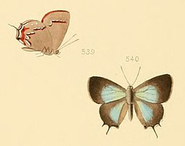 Thecla lorina - Illustrations of diurnal Lepidoptera 71 (cropped).jpg