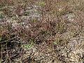 Themeda triandra autumn appearance3 (14582926492).jpg