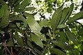 Theobroma cacao 2zz.jpg
