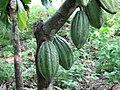 Theobroma cacao Fruit Linne.jpg