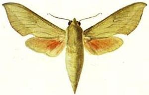 Illustration von Theretra capensis