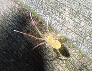 <i>Theridion</i> genus of arachnids
