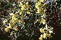Thermopsis rhombifolia NPS.jpg