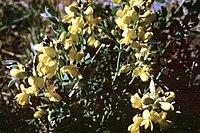 Thermopsis rhombifolia NPS