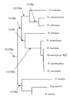 Conserved signature indels - Figure 3: A concatenated protein tree showing the phylogenetic relationship of the group Thermotogae. The number of CSIs that support the branching order are indicated .