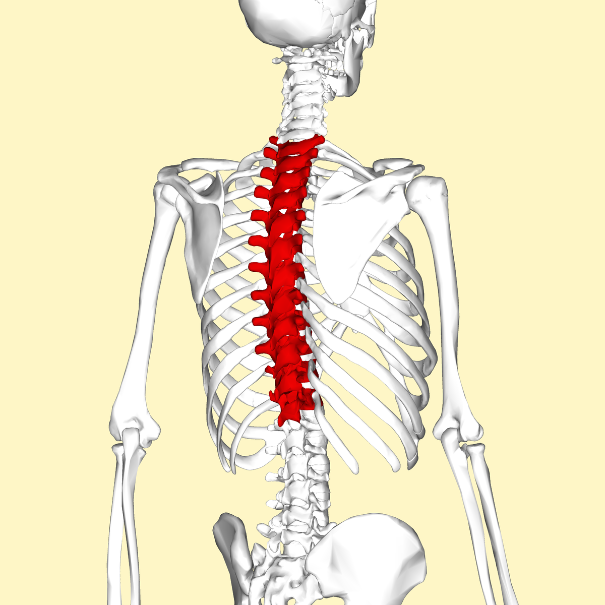 Thoracic Vertebrae Wikipedia