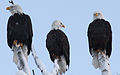 Three wise eagles after Sunday brunch (IMG 1578a).jpg
